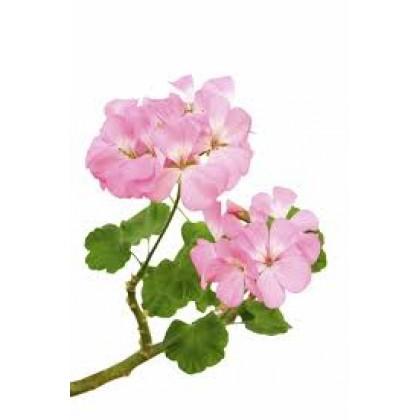 Summer Soap Rose Geranium Essential Oil 100ml 玫瑰天竺葵精油 100% Natural Plant Aromatherapy Diffuser Humidifier Massage